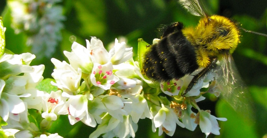 IMG 0620 copy bumble bee on buckwheat NancyLeeAdamson XSA